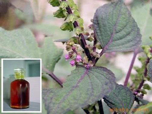红紫苏叶油