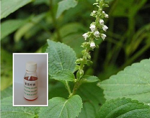 紫苏叶油  pruple perilla oil.jpg