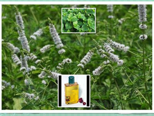 留兰香油 spearmint oil.jpg